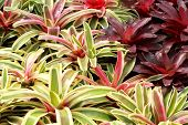 picture of bromeliad  - Bromeliads is a plant with beautiful leaf - JPG