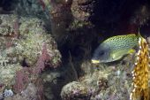 Coral And Blackspotted Sweetlips