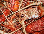 image of norway lobster  - Background of many cooked lobsters on a one heap - JPG