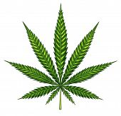 picture of marijuana leaf  - Marijuana leaf isolated on a white background as a symbol of alternative medical use herbal therapy and social drug law issues - JPG