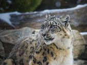 foto of snow-leopard  - Close - JPG