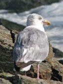 Sea Gull on a Rock Oceanside