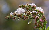 stock photo of frostbite  - Budding & blooming Lilac flowers caught in an unexpected late spring snowfall. A reminder to gardeners against planting too early in the gardening season. ** Note: Shallow depth of field - JPG