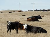 image of prairie  - Beef Cattle in a prairie pasture in North Dakota - JPG