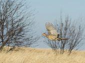 stock photo of ringneck  - A wild hen pheasant in flight in North Dakota - JPG