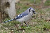 foto of blue jay  - Blue Jay  - JPG