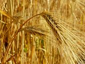 golden ears against ripening wheat field