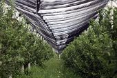 Orchards Protective Nets