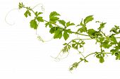 picture of climber plant  - A climber plant for document back ground - JPG