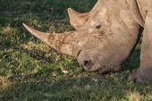Rhino with long horn eating grass