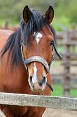 stock photo of horse face  - Headshot of a chestnut horse - JPG