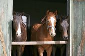 stock photo of thoroughbred  - Nice thoroughbred foals in stable - JPG