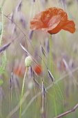 red poppy wildflower, these field flowers are the symbol of veterans day and grow in Flanders fields