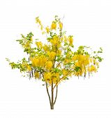picture of cassia  - Golden shower tree  - JPG