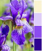 Blue irises  background  with complimentary swatches.