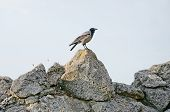 Gray Crow On A Stone