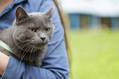 British Shorthair Cat On Hands With Unhappy Look
