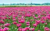 stock photo of opiate  - Dutch landscape with many pink flowers en seed boxes of Papaver somniferum plants and in the background the edge of a small village with a windmill - JPG