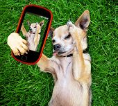 picture of pooch  - a cute chihuahua in the grass taking a selfie on a cell phone cell phone - JPG