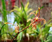 pic of royal botanic gardens  - Branch of orange spotted Mokara orchid  - JPG