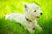 image of westie  - west highland white terrier on the grass - JPG