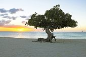 Divi divi tree on Aruba island in the Caribbean at sunset