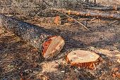 image of deforestation  - cut trunks of dead trees after the fire of pinewood  - JPG