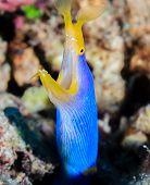 Ribbon Eel.  Sipadan Barrier Reef.