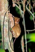 Tarsier In The Jungle