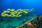 Yellow Snapper on a shipwreck