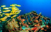 image of red snapper  - Yellow tailed snapper around an underwater wreck - JPG