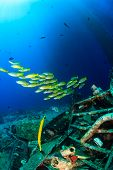 Colorful tropical fish around wreckage