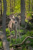 White-Tailed Deer (Odocoileus virginianus) In Amongst Forest