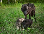 Black Wolf (Canis lupus) And Frolicking Pups