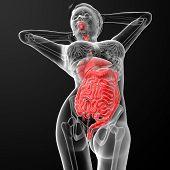 Постер, плакат: Female Digestive System
