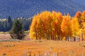 Bright autumn trees in Yellowstone national park