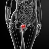 stock photo of bladder  - 3d render female bladder anatomy x - JPG