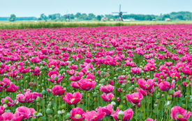 picture of opiate  - Dutch landscape with many pink flowers en seed boxes of Papaver somniferum plants and in the background the edge of a small village with a windmill - JPG
