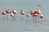 Flock of Flamingos at Jan Kok salt lake
