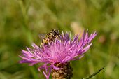 Wasp Resting On Pink Thistle