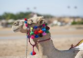 Head Of Dromedary Camel With Ornate Bridle