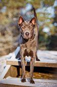 beautiful thai ridgeback dog