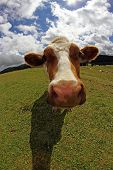 Cow Photographed With Fish Eye Lens And Blue Sky With Many Clouds White