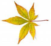 Japanese maple tree leaf