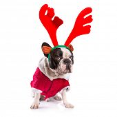 picture of rudolph  - French bulldog dressed as reindeer Rudolph over white - JPG