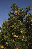 stock photo of valencia-orange  - Fields of agriculture in the Mediterranean region of maestazgo in the Valencian community - JPG