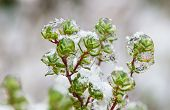 Frozen Sprigs Of Thyme