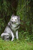 Toy- Grey Wolf Under The Fir Tree