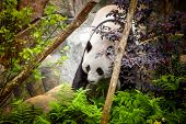 Giant panda in zoo