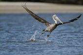 stock photo of lifting-off  - Brown Pelican lifts off from small lagoon - JPG